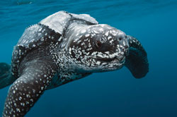 Leatherback turtle swimming