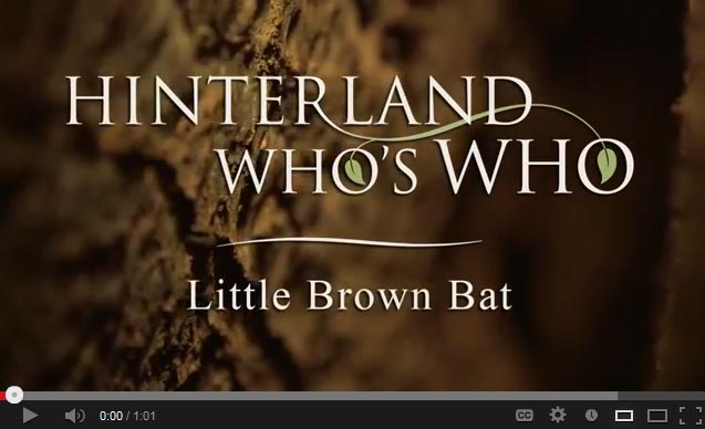 Little brown bat video