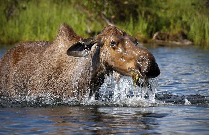 Moose standing in a lake