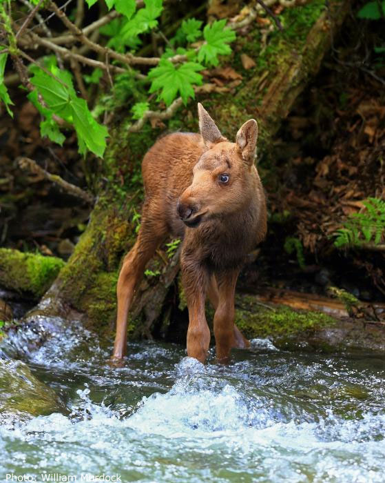 Moose calf at water's edge